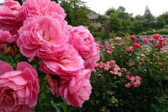 散步在輕井澤湖花園玫瑰花小徑