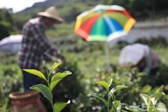 台灣花香味最濃的茶樹 四季春傳奇|農產小故事