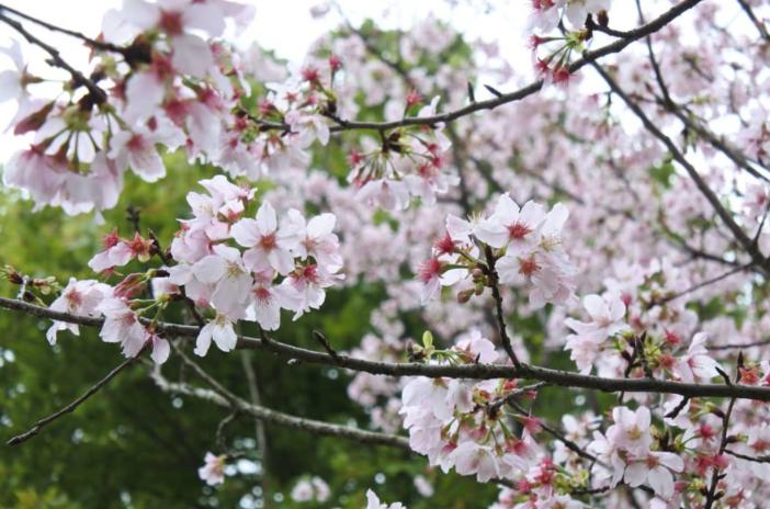 陽明山花季 PChome旅行團